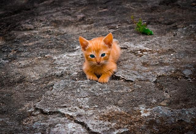 zrzavé koťátko