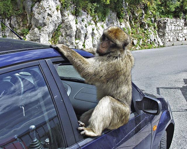 opice na autě